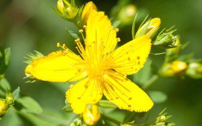 Sonnenpflanze Johanniskraut – Salbe aus Rotöl ist bald da